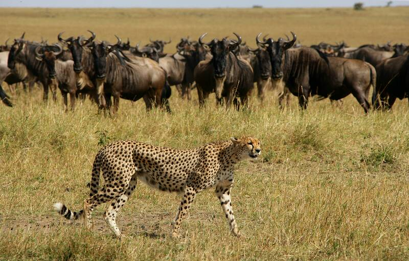 epc-cheetah-wildebeest-michael-poliza-photography
